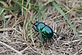 Earth-boring dung beetle from Slovakia (7375992082).jpg