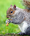 Eastern Gray Squirrel peanut.jpg