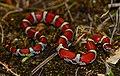 Eastern Milk Snake (Lampropeltis triangulum triangulum) (42646924152).jpg