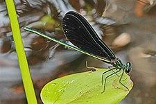 Ebony Jewelwing - Calopteryx maculata, Wekiwa Springs State Park, Florida.jpg