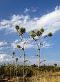 Echinops adenocaulos - Globe thistle.JPG