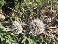Echinops echinatus-3-jodhpur-India.JPG