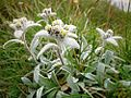 Edelweiss0002.jpg