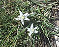 Edelweiss Emparis.jpg