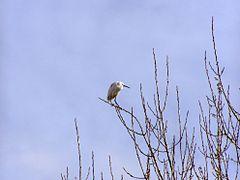 Egretta garzetta tree.jpg
