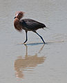 Egretta rufescens -Lake Edna, Florida, USA-8.jpg