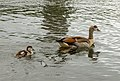 Egyptian goose in Hyde Park, London.jpg