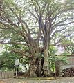 Elaeocarpus sylvestris 20100612 (a).jpg