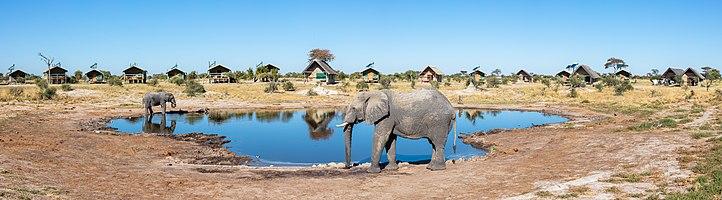 African bush elephants (Loxodonta africana) visiting the water hole in Elephant Sands, Botswana.