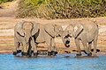 Elefantes africanos de sabana (Loxodonta africana), parque nacional de Chobe, Botsuana, 2018-07-28, DD 76.jpg
