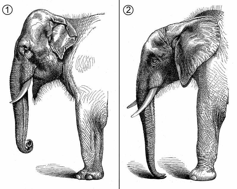 Elefants comparative anatomy