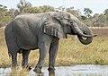 Elephant enjoying a drink (44951820944).jpg