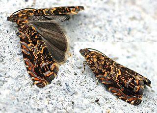 <i>Enarmonia formosana</i> Species of moth