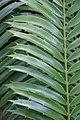 Encephalartos hildebrandtii 6zz.jpg