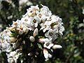 Epacris breviflora Baw Baw NP.jpg