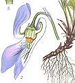 Eperon Viola riviniana.jpg