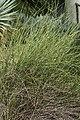 Ephedra trifurca 2zz.jpg