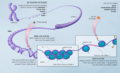 Epigenetic mechanisms-he (cropped).png