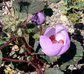 <i>Eremalche rotundifolia</i> species of plant