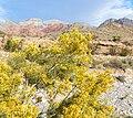 Ericameria paniculata 2.jpg