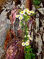 Erigeron annuus - Eastern Daisy Fleabane 2.jpg
