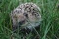 Erinaceus europaeus New Zealand Hedgehog.jpg