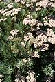Eriogonum arborescens kz1.jpg
