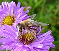 Eristalis tenax. - Flickr - gailhampshire (2).jpg