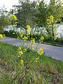 Erucastrum nasturtiifolium sl6.jpg