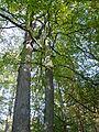 Etang de Hanau-Chêne et hêtre (2).jpg