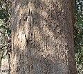 Eucalyptus polyanthemos vestita bark.jpg