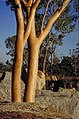 Eucalyptus tintinnans.jpg