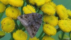 File:Euclidia glyphica - 2013-08-04.webm