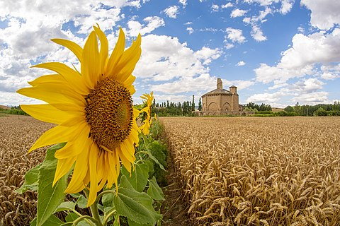 Santa María de Eunate church is a very special church in the Camino de Santiago, because of it's octogonal shape and isollation. Here we can see it with a sunflower and wheat.