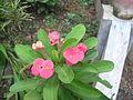 Euphorbia Pink.JPG
