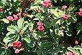 Euphorbia milii 17zz.jpg