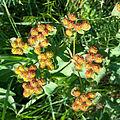 Euphorbia polychroma sl1.jpg