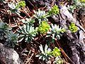 Euphorbia saxatilis sl6.jpg