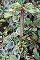 Euphorbia viguieri 7zz.jpg