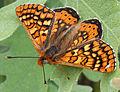 Euphydryas aurinia 20140420.jpg
