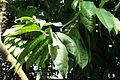 Eupomatia laurina kz1.jpg