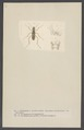 Euprosopus - Print - Iconographia Zoologica - Special Collections University of Amsterdam - UBAINV0274 001 01 0009.tif
