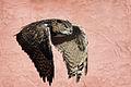 Eurasian Eagle-Owl (10828741675).jpg