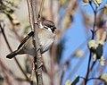 Eurasian Tree Sparrow (32010200688).jpg