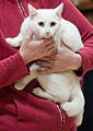 European shorthair - URK cat show Vantaa.JPG