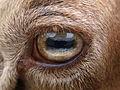 Eye Coburger Fuchsschaf.jpg