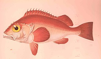 Rose fish - Illustration of a rose fish