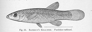 FMIB 51385 Rathbun's Killi-Fish Fundulus rathbuni.jpeg