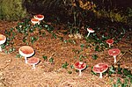 File:Fairy ring^ - geograph.org.uk - 573051.jpg