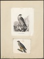 Falco peregrinus - 1700-1880 - Print - Iconographia Zoologica - Special Collections University of Amsterdam - UBA01 IZ18200130.tif